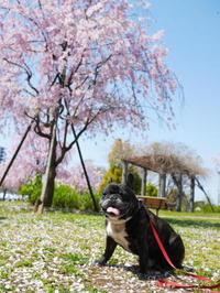 桜、色々 - ichibey日々の記録