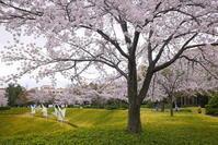 関西学院大学の桜 - ぶらり休暇