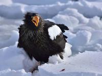 """オオワシ(大鷲)/Steller's sea eagle - 「生き物たちに乾杯」 第3巻 """"A Toast to Wildlife!"""" vol. 3"""