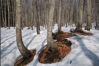 残雪の美人林 - 松之山の四季2