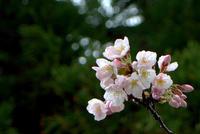 雨だれ咲く三井寺 - 京都ときどき沖縄ところにより気まぐれ