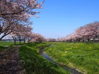 草場川の桜並木 - あそびをせんとや ~あそびっこ~