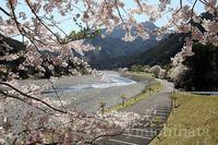 キャンプinn海山の桜 - みちはた写真館フォトギャラリー