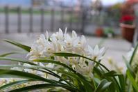 ランの花 - ブナの写真日記