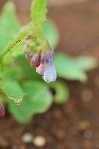 4/17 薄青色のコンフリー - 「あなたに似た花。」