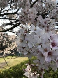 桜満開です - 下駄げたライフ