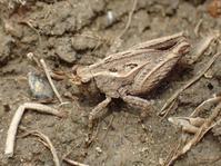 ヒシバッタの一種 - 写ればおっけー。コンデジで虫写真