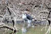 オオタカ 舞い降りる - azure 自然散策 ~自然・季節・野鳥~
