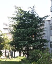 ヒマラヤスギは杉ではなく,その松ぽっくりをシダーローズといいます - 楽餓鬼