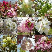 桜の通り抜け - NATURALLY