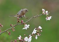 桜にベニマシコ♀ - 今日も鳥撮り