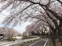 井田山さくらが丘のソメイヨシノ。 - 携帯模写