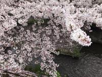 渋川と二ヶ領用水のサクラ。 - 携帯模写