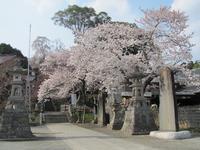 ヤット咲いた桜花・・・ - るーちゃん日々雑感