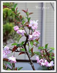 海棠と石楠花 - - Une phrase -