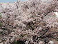 桜のパワーは,お肌を応援(^^)/ - Fortune・Seeds
