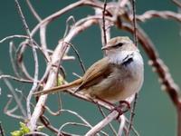 春はウグイス Ⅰ   YZG - シエロの鳥ノート