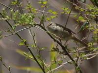 春はウグイス Ⅱ  YZG - シエロの鳥ノート