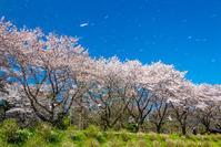 桜舞う巾着田 - デジカメ写真集
