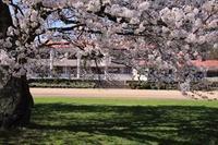 ■今回も但馬の桜を紹介します。 - フォト散歩・但馬彩々