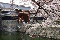 松本城の桜は、、、 - 乗鞍高原カフェ&バー スプリングバンクの日記②
