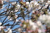 メジロと桜 - 時を刻む革小物 Many CHOICE~ 使い手と共に生きるタンニン鞣しの革