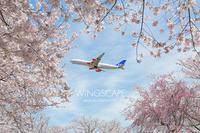 桜に包まれて - WiNGSCAPE
