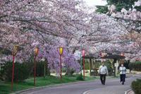 日岡山の桜 ⑬ - グル的日乗