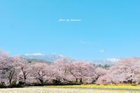 山高神代桜 〜山梨県北杜市武川町〜 - Photographie de la couleur