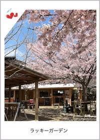 遅ればせながらのお花見は、生駒山のラッキーガーデンにて - つれづれなるままに
