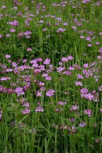 レンゲソウとかの野の花々を見ていると。。。 - ヒバリのつぶやき