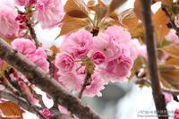 今年最後の桜かな? - パピヨン小雪の徒然日記