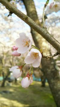 名もなき場所のSAKURA~滋賀県② - Emily  diary