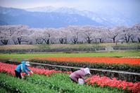 舟川の春景色 - 一歩々 ~いっぽいっぽ~