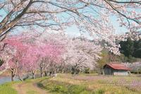 Sakura*Diary2017③**近場サクラさんぽ♪ - きまぐれ*風音・・kanon・・
