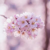 近所の桜2 - My Palpitation