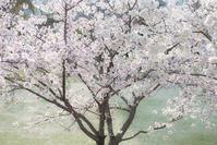 近所の桜1 - My Palpitation