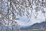勝山弁天桜。 - 蛾の日記