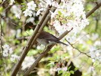 久しぶりのシロハラ - 西多摩探鳥散歩
