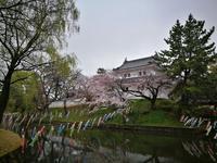 茨城の桜めぐり 亀城公園 @茨城県 - 963-7837
