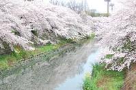 桜 - 2017 - - 仕立て屋の孫娘