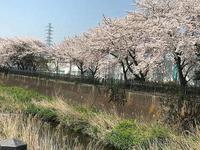 いたち川の桜 - NPHPブログ版