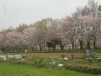 桜見物・埼玉県東浦和駅(武蔵野線)見沼通船掘散策 - 活花生活(2)