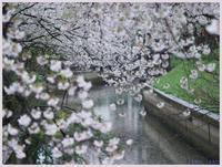 戸田 笹目辺りの桜-1   038) - 趣味の写真 ~オリンパスE-M1MarkⅡとE-M1、E-5とたまにフジフィルムXZ-1も使っています。~
