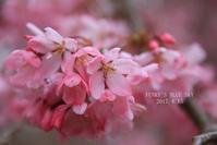 SAKURA*2017 その4(泣きそな空の下、桜散歩♪) - FUNKY'S BLUE SKY