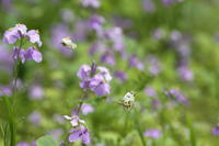 都心の公園にツマキチョウ舞う(東京都文京区、20170415) - Butterfly & Dragonfly