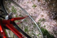 今年の桜は、もう終わりですね・・。【チネリ ガゼッタ 画像】 - My Kids Garden.com
