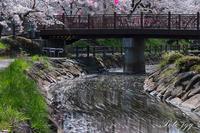 花筏と桜吹雪・・・ - ぶらりカメラウォッチ・・