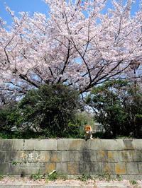 yamatoと桜と徳島 - yamatoのひとりごと