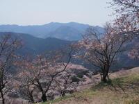 春に咲く冬桜を楽しんで 桜山  2017.4.14(金) - 心のまま、足の向くまま・・・